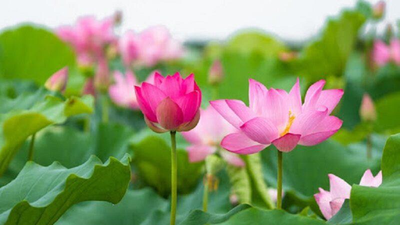 Nằm mơ thấy hoa sen là điềm báo gì? Đánh con số mấy?