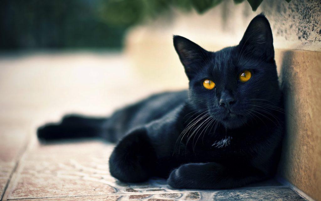 Nằm mơ thấy mèo đen đuổi theo có ý nghĩa gì? Đánh con gì?